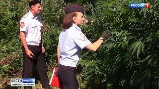В Крыловском районе полицейские уничтожили более 13 тысяч кустов конопли