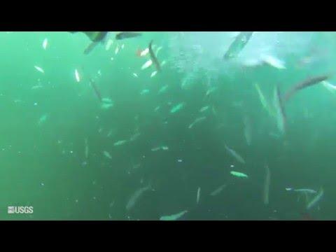 USGS Bloater Prey Fish Stocking Into Lake Ontario (Fall 2015)