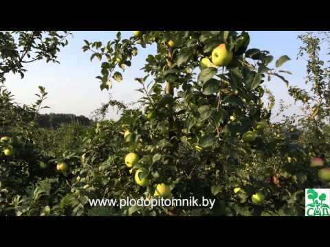 Яблоня сорт Ананас