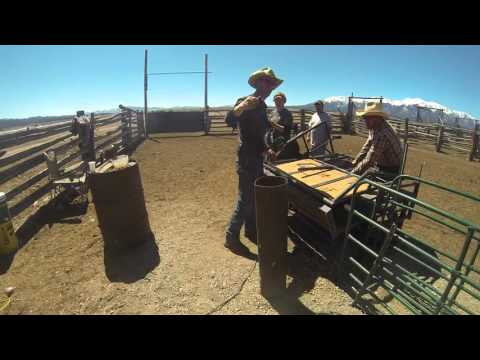 Cattle Branding in Colorado