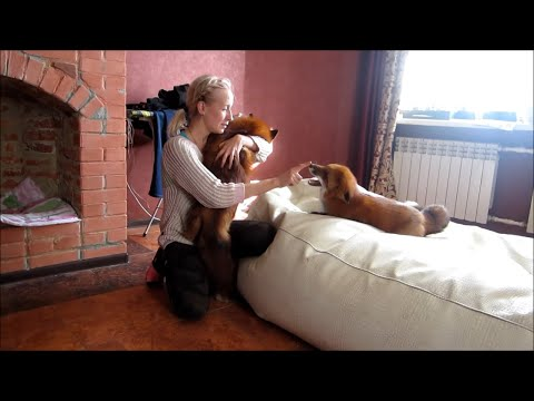 If You Love Foxes, Watch how Cute they Can Be