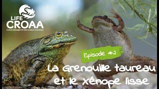 [LIFE CROAA] - épisode 2 - La Grenouille taureau et le Xénope lisse