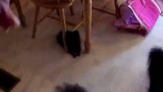 100 2987 Pomeranian Waving Hi!