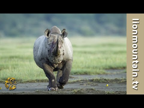 Black Rhino RAGE - Black Rhino ATTACK Male Lion [Caught in the Act]