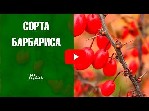 Барбарис обыкновенный, амурский, Листья, корни, кора