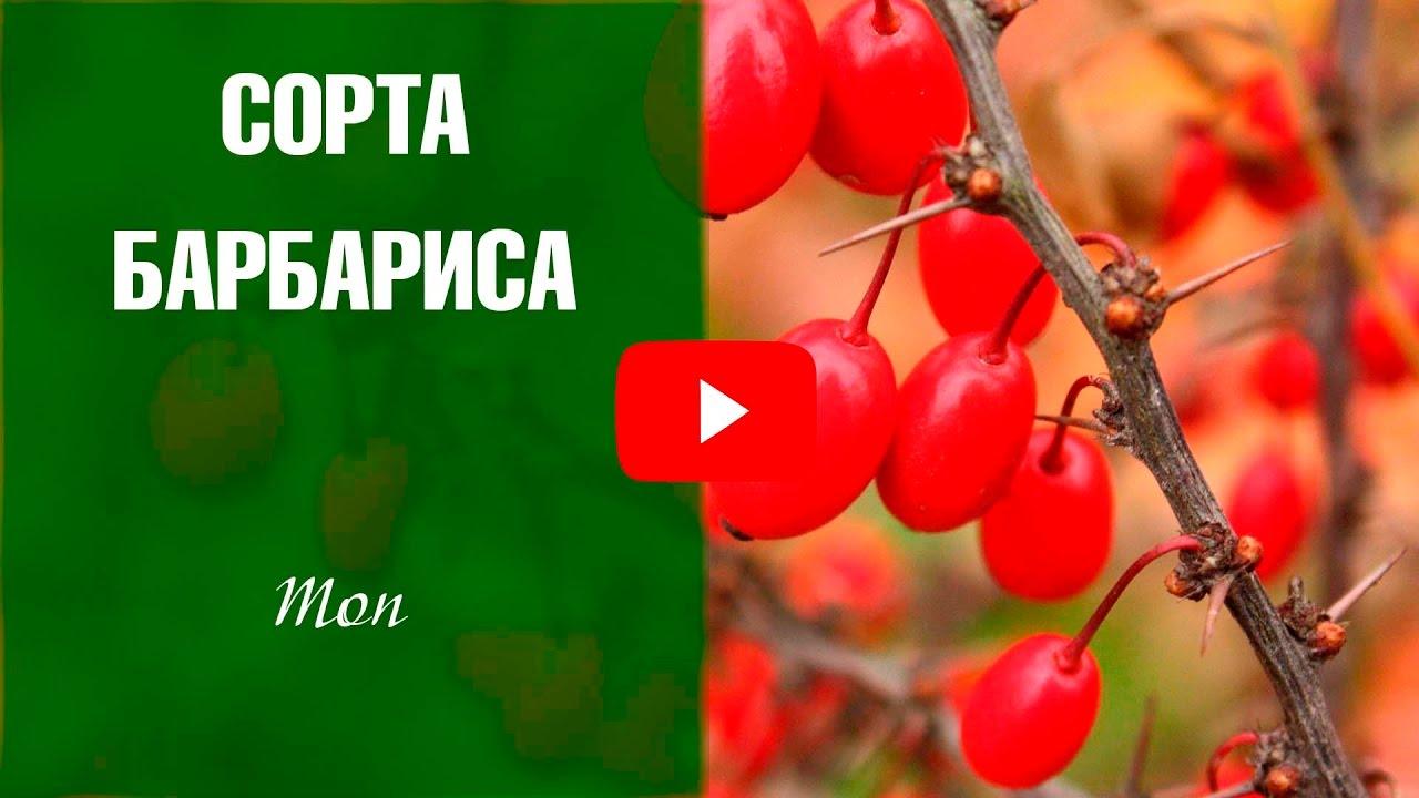 лимонник сибирский фото