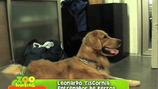 Adiestramiento Golden Retriever