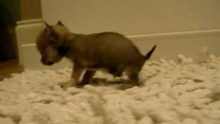 Daisy the Chihuahua Little boy blue 5 weeks