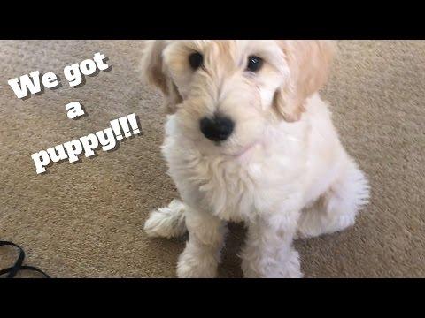 We got a PUPPY!! | F1B Golden Doodle