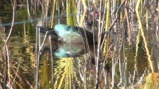 Pato Selvagem, Cairina moschata ,Aves silvestres, Fauna brasileira, Mato Grosso do Sul,