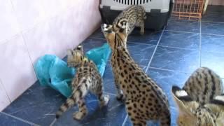 ручные котята африканского сервала и пакет))