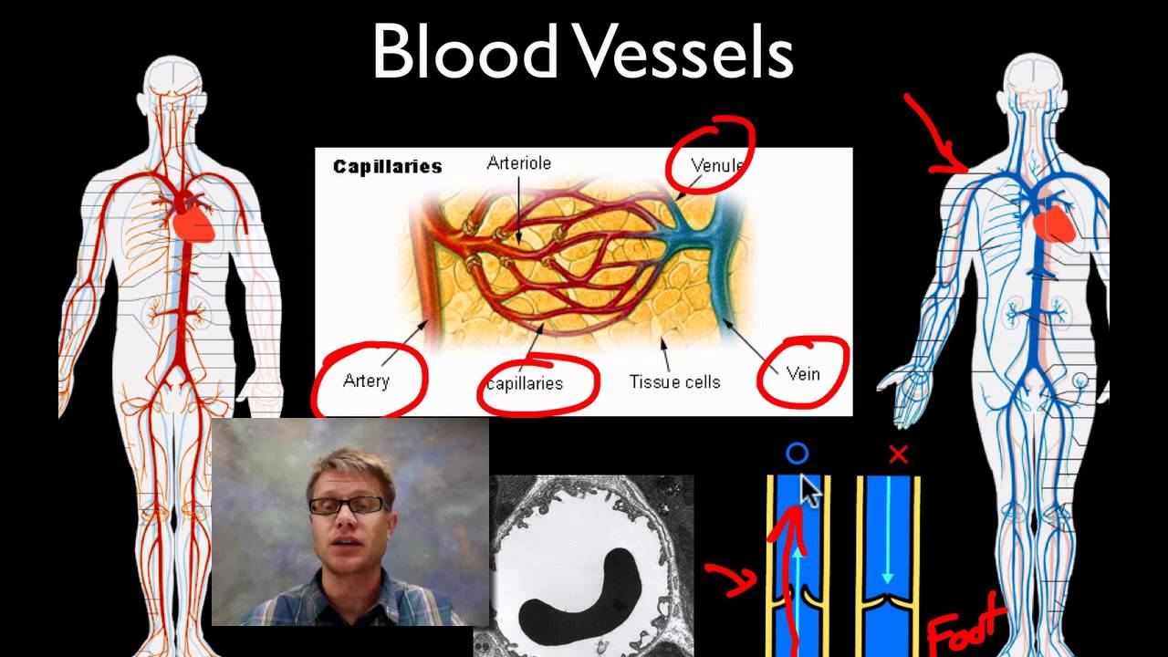 The circulatory system youtube the circulatory system ccuart Gallery