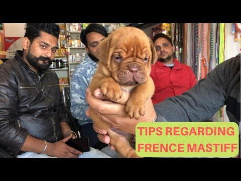 Tips Regarding French Mastiff Bordeaux