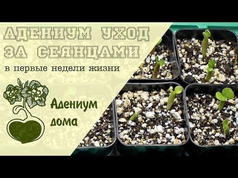 Адениум дома: уход за сеянцами в первые недели жизни.