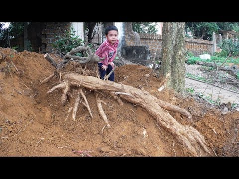 Harvest the Giant Kudzu Roots