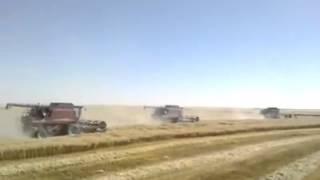بالفيديو.. تداول لقطات لحصاد القمح هذا العام فى شرق العوينات بالوادى الجديد