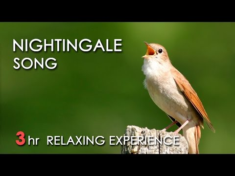 BEST NIGHTINGALE SONG - 3 Hours REALTIME Nightingale Singing