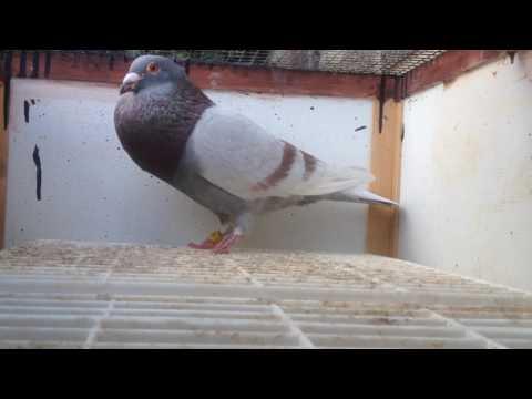 Cock pigeon calling hen