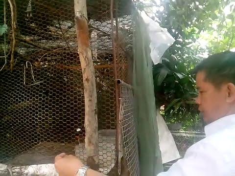Kỹ thuật nuôi chim sinh sản chào mào, ccl than mi. Tại thái sơn ,thái thụy TB. Anh em Alo 0945287773