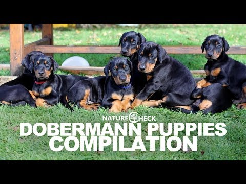 Dobermann Puppies Compilation