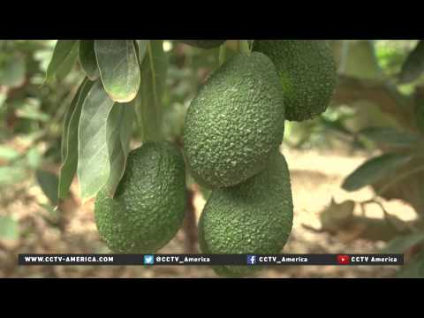 Peru's avocado farmers are looking at China