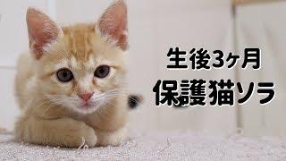【保護猫】生後3ヶ月ソラと6ヶ月ハナのじゃれあい