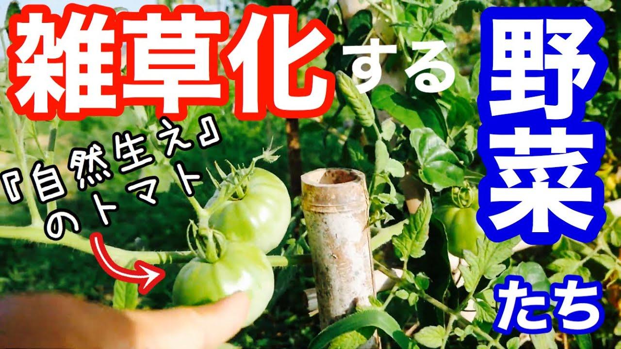 【雑草化する野菜】自然生えのしやすさを解説〔自然農法〕2020年8月6日