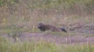 Indian Wildlife ( Striped Neck Mongoose )