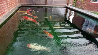 Large Koi - Japanese Koi Stunning 4K Fish