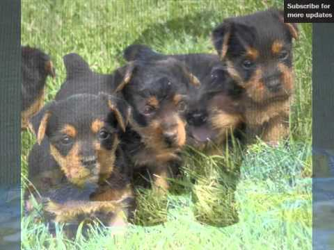 Dogs Picture Collection Of Puppy Terrier Australian