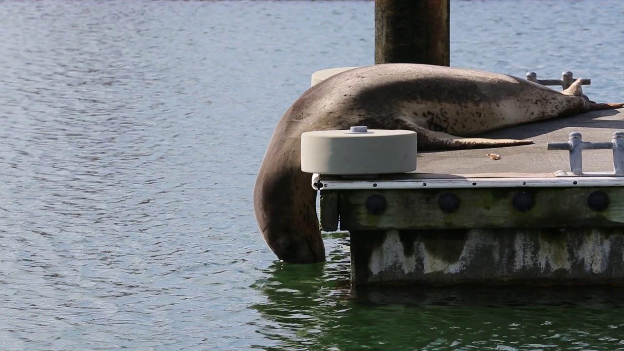 Leopard seal resting at Marsden Cove Marina