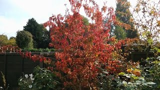 Acer tatarica ssp ginnala video