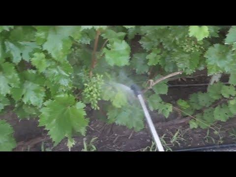 Как защитить грозди винограда от паралича гребня