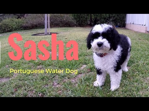 Our New PUPPY!  Sasha PWD - Portuguese Water Dog