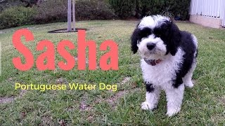 Our new PUPPY!  Sasha PWD  Portuguese Water Dog