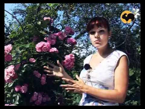 Розы в Саду. серия 11. Плетистые розы 1