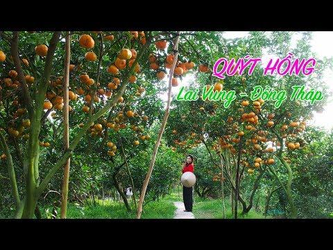 Vườn Quýt Hồng Lai Vung Hai Kiệt làm du khách mê mẫn | Du lịch Đồng Tháp Tết 2018 | ZaiTri