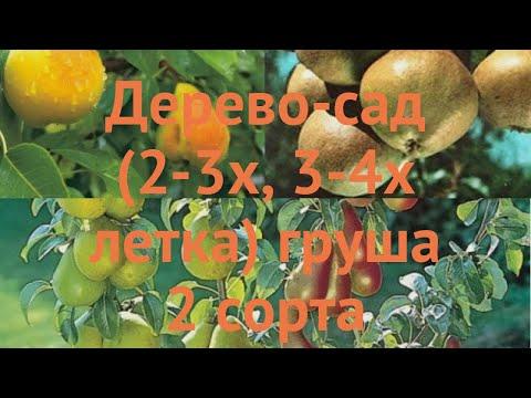 Груша обыкновенная Любимица Яковлева - Скороспелка из Мичуринска 🌿 обзор: как сажать, саженцы груши