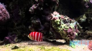 The $30,000 Peppermint Angelfish at Waikiki Aquarium