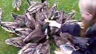 Duck feeding frenzy Feeding rolled oats to ducks at the Dunedin botanical gardens.