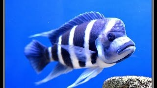 Repeat youtube video Cyphotilapia frontosa