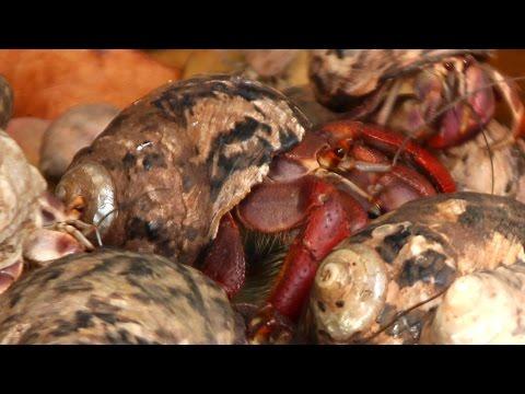What Do Hermit Crabs Eat?
