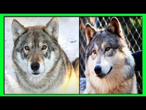 Собака-волк: описание и характеристики породы