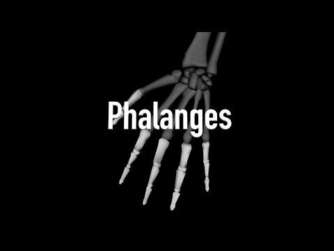Bones of the Hands - Anterior - Quiz