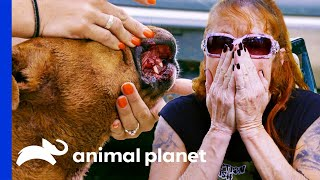 Rescued Fighting Dogs Need Urgent Medical Treatment | Pit Bulls & Parolees