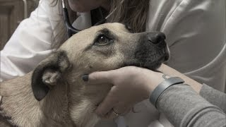 Otter Gets the Surgery She Needs to Save Her Life | Pit Bulls and Parolees