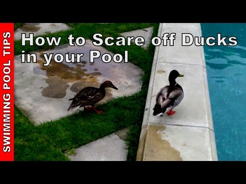 The Hazards Of Raccoon Pooping In The Pool Critter Pri Doovi