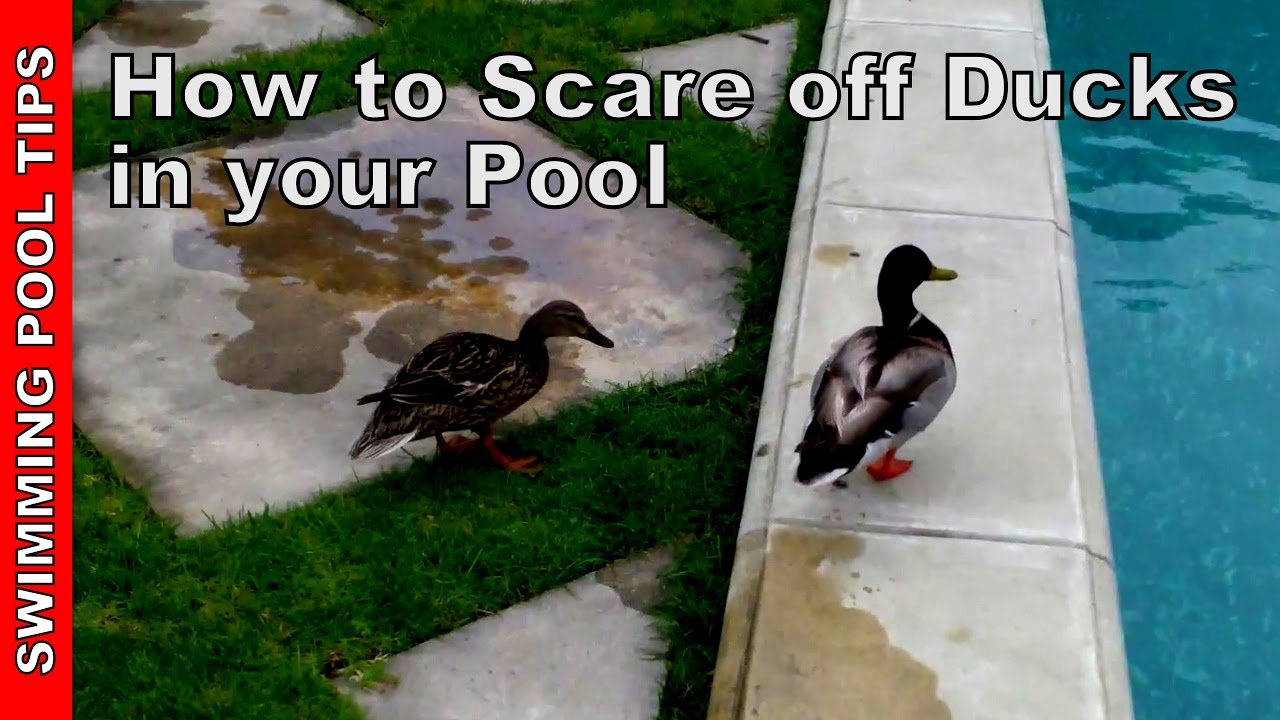Ducks In Your Swimming Pool How To Scare Them Off Youtube Replacing A Light From The Deck Electrical Online