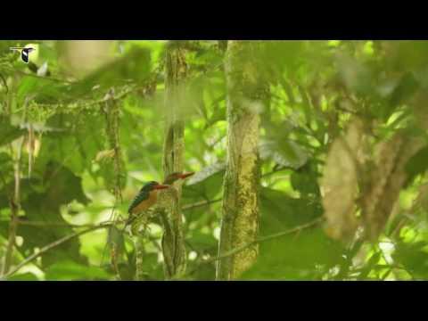 Banded Kingfisher Gives Nuptial Gift