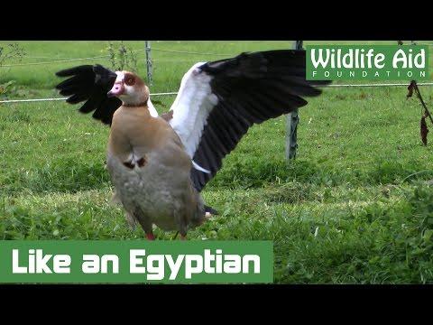 Feisty Egyptian Goose Tangled in Fishing Line